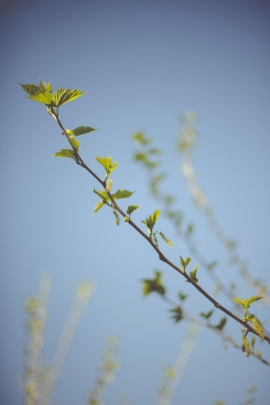 leaves being born