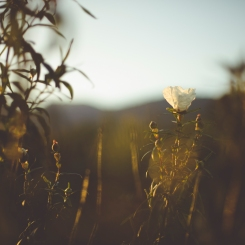 Jara flowers
